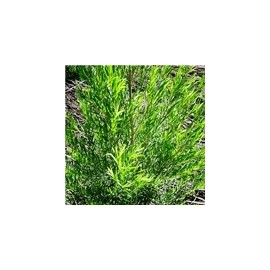 Tea tree (Melaleuca Alternifolia), 15 ml
